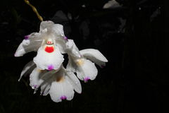 Dendrobium annae Zdjęcie Royalty Free