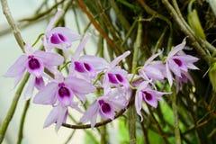 Dendrobium anosmum w pełnym kwiacie kwiatu biel storczykowy purpurowy Zdjęcie Royalty Free