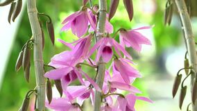 Dendrobium Aphyllum orchids flowers bloom in spring