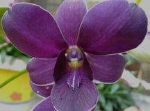 Dendrobium błękita ocean obraz royalty free
