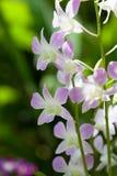 Dendrobium bigibbum Orchidee Stockfotografie