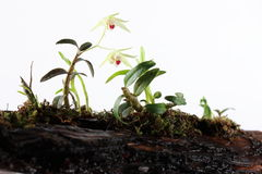 Dendrobium in blossom Stock Photography