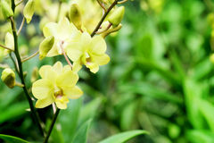 Dendrobium Bucha Putha ou orchidée jaune croisée de Dendrobium à l'arrière-plan de jardin de flore Image libre de droits