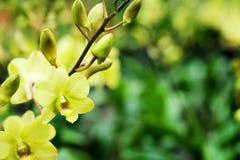 Dendrobium Bucha Putha ou orchidée jaune croisée de Dendrobium à l'arrière-plan de jardin de flore Photographie stock