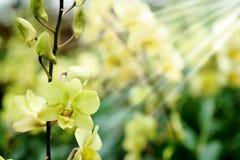 Dendrobium Bucha Putha ou orchidée jaune croisée de Dendrobium à l'arrière-plan de jardin de flore Images stock