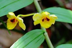 Dendrobium chrysanthum Stock Photos