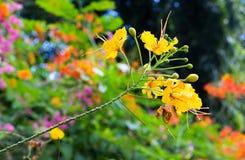 Dendrobium chrysotoxum Zdjęcie Stock