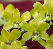 Dendrobium chrysotoxum Lindl Stockfotografie