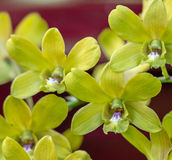 Dendrobium chrysotoxum Lindl. Yellow orchid Stock Photography