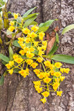 Dendrobium chrysotoxum Lindl, yellow orchid Stock Photography