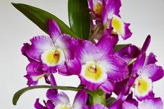 Dendrobium Royalty Free Stock Photo