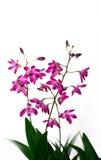Dendrobium 'Compactum d'orchidée Photo stock