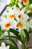 Dendrobium Cruentum Orchid Stock Photography