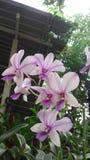 Dendrobium d'orchidée Photos stock