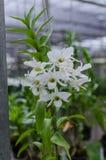 Dendrobium d'orchidée Images libres de droits