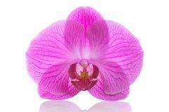 Dendrobium de Phalaenopsis ou de mite de rose de fleur d'orchidée d'isolement Image stock