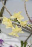 Dendrobium della sezione Immagine Stock