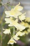 Dendrobium della sezione Fotografia Stock Libera da Diritti