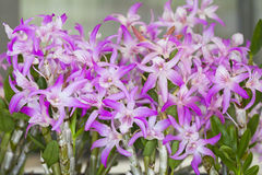 Dendrobium della sezione Immagini Stock Libere da Diritti