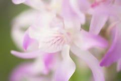 Dendrobium della sezione. Fotografia Stock