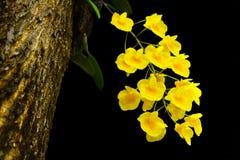 Dendrobium dixanthum,煎蛋兰花 库存照片