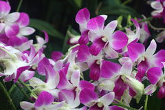Dendrobium Eastern Vigor 2. Pink dendrobium eastern vigor orchid in full bloom Stock Images