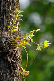 Dendrobium ellipsophyllum is beautiful flower and have white, ye Royalty Free Stock Photography