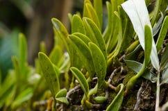 Dendrobium ellipsophyllum is beautiful flower and have white, ye Royalty Free Stock Photo