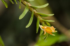 Dendrobium ellipsophyllum is beautiful flower and have white, ye Royalty Free Stock Images