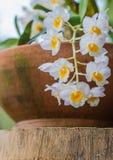 Dendrobium farmeri Paxton im Garten. Stockfotos