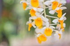 Dendrobium farmeri Paxton w ogródzie. Zdjęcie Royalty Free