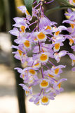 Dendrobium farmeri `Pink` orchids. Royalty Free Stock Images
