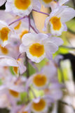 Dendrobium farmeri `Pink` orchids. Royalty Free Stock Photos