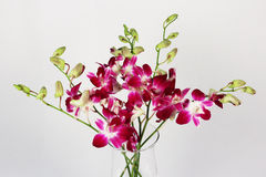 Dendrobium flower on the white background Royalty Free Stock Image