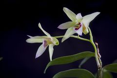 Dendrobium flowers Royalty Free Stock Photo