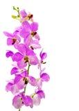 Dendrobium gatton sunray. On white background royalty free stock image