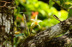 Dendrobium heterocarpum Zdjęcie Royalty Free