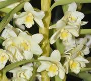 Dendrobium Hoshimusume Hybrid Orchid Stock Image