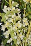 Dendrobium Hoshimusume Hybrid Orchid Royalty Free Stock Photo