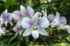 Dendrobium is a huge genus of orchids. There are in south, east and southeast Asia. Named from the Greek dendron mean tree and bios mean life all meaning one stock images