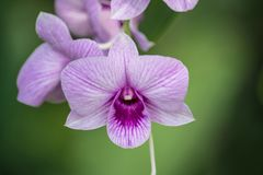 Dendrobium is a huge genus of orchids. There are in south, east and southeast Asia. Named from the Greek dendron mean tree and bios mean life all meaning one stock photo