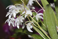 Dendrobium Hybrid Orchid Royalty Free Stock Images