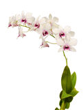Dendrobium Stock Photos
