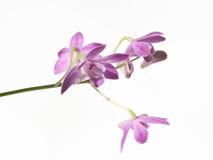 Dendrobium isolated on white background Royalty Free Stock Photos