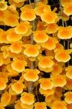 Dendrobium  lindleyi Stock Image