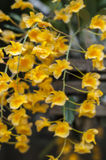 Dendrobium Lindleyi orchid. Royalty Free Stock Photos