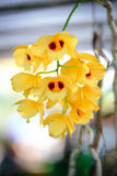 Dendrobium lindleyi Steud Orchid Stock Images