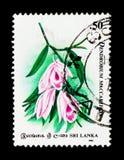 Dendrobium Maccarthiae, 60. Jahrestag des Orchideen-Kreises von Cey Stockbild