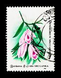 Dendrobium Maccarthiae, sessantesimo anniversario del cerchio dell'orchidea di Cey Immagine Stock