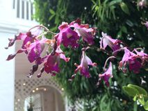 Dendrobium Margaret Thatcher orchid flower. Dendrobium Margaret Thatcher purple hybrid orchid flower royalty free stock photo